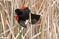 Red-wingedBlackbirdPatches_DSC_0461