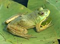 Green Frog on Green Leaves