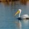 White Pelican 011