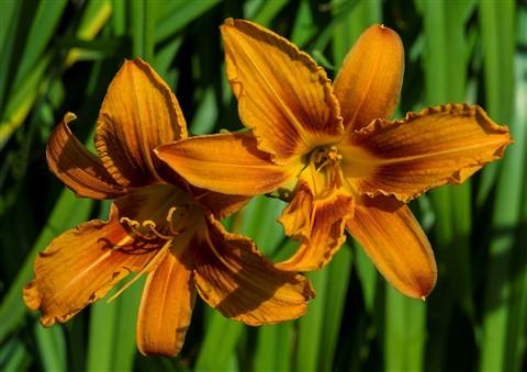 Orange Day Lillies July 8 2013 --4