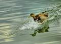 A Mallard landing on the water