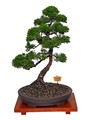 Bonsai - Sargent Juniper