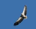 White - bellied Sea Eagle