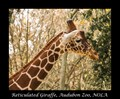 Reticulated Giraffe, Audubon Zoo, NOLA