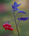 BLUE LEAVES -CLIMBING NIGHTSHADE