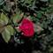 Rose_50mm-1-3