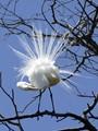 Preening Breeding Great Egret