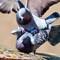 PigeonCourtship_3_M222967