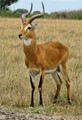 Ugandan Kob, Queen Elizabeth National Park, Uganda