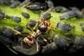aphids harvesting