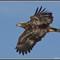 Ottawa NWR Eagle 4