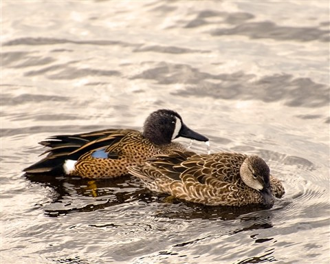 Blue-Winged Teal (Anas discors) at Viera Wetlands