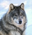 Timber Wolves in the winter grow these beautiful fur coats to stay warm.