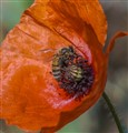 Bee + Poppy = BEAUTIFUL!