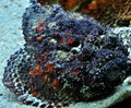 Deadly Stonefish