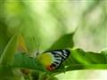 Hazy Butterfly