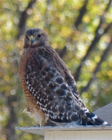 Hawk 6 111412