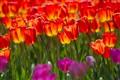 Shining Tulips
