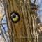 Acorn Woodpecker _ IMG_5347