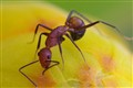 Red ant over a yellow bud