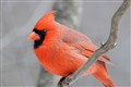 "Northern Cardinal - ""Garden Birds rules understood"""