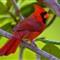 Cardinal-Best-1