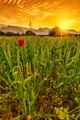 Wheat field with one red poppy.