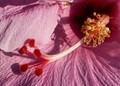 Hibiscus Stamen & Pistil
