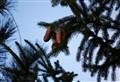pine_cone