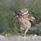 Burrowing Owl in Stride