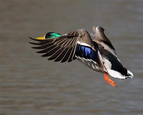 Duck 2 021012