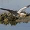 2-20-14 #3144  huntington heron flying in (1 of 1)