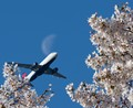 Laeving the Cherry Blossoms