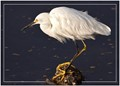 Stillness personified - Snowy Egret waiting for prey
