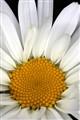 Oxeye Daisy - Leucanthemum vulgare