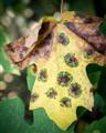 sick leaf