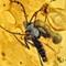 2017 Amber 013 March Diptera Nematocera I