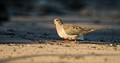 Dove on the sand...