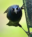 Grackle dominates the feeder