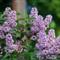 Lilacs 5_16_2012