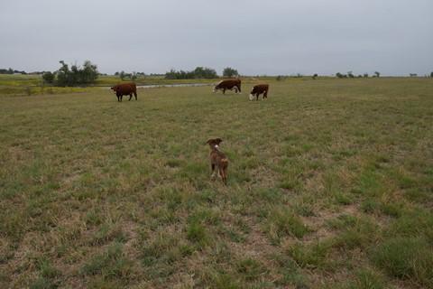 a65 puppy cows