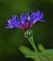 Purple Bergamot (Monarda media)