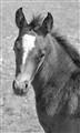 Foal11