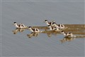 Shelducks trying to follow mother....