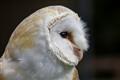 Brazen Barn Owl