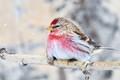 redpol bird alaska winter