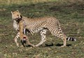 Cheetah and its prey