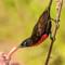 Scarlet-chested Sunbird: