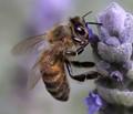 Lavender Beee