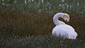 Whooper Swan, Iceland:  Panasonic GH2